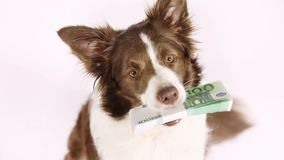 Purebred Collie border dog with the stack of bills one hundred Euro stock video footage