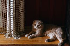A purebred cream-colored cat royalty free stock image