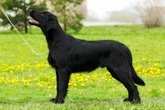 Purebred czarnego psa aporteru pokrywająca pozycja w przedstawieniu po fotografia stock