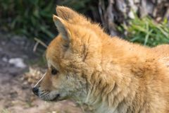 Purebred Dingo Puppy, Victoria, Australia, August 2018. Portrait of a Purebred Dingo Puppy, Victoria, Australia, August 2018, Canis dingo royalty free stock images