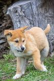 Purebred Dingo Puppy, Victoria, Australia, August 2018. Portrait of a Purebred Dingo Puppy, Victoria, Australia, August 2018, Canis dingo royalty free stock photos