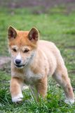 Purebred Dingo Puppy, Victoria, Australia, August 2018. Portrait of a Purebred Dingo Puppy, Victoria, Australia, August 2018, Canis dingo royalty free stock photography