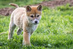 Purebred Dingo Puppy, Victoria, Australia, August 2018. Portrait of a Purebred Dingo Puppy, Victoria, Australia, August 2018, Canis dingo stock photo