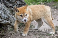 Purebred Dingo Puppy, Victoria, Australia, August 2018. Portrait of a Purebred Dingo Puppy, Victoria, Australia, August 2018, Canis dingo royalty free stock image