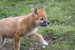 Purebred Dingo Puppy, Victoria, Australia, August 2018. Portrait of a Purebred Dingo Puppy, Victoria, Australia, August 2018, Canis dingo stock images