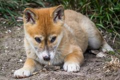 Purebred Dingo Puppy, Victoria, Australia, August 2018. Portrait of a Purebred Dingo Puppy, Victoria, Australia, August 2018, Canis dingo stock photos