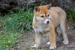 Purebred Dingo Puppy, Victoria, Australia, August 2018. Portrait of a Purebred Dingo Puppy, Victoria, Australia, August 2018, Canis dingo stock photography