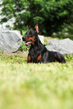 Purebred Doberman dog Stock Photo