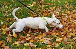 Purebred Dog Stock Image
