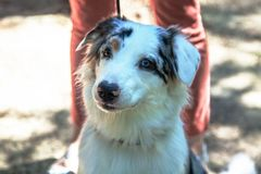 Purebred dog Australian shepherd - Aussie in front of the owner legs, outdoors, sunny day. Has different colors of eyes - one br royalty free stock photography