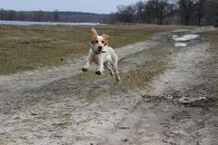 Purebred dog breed Cocker Spaniel jump. Ing on the nature stock photo