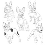 Purebred dog in different poses hand drawn sketches. French bulldog set isolated on white background vector illustration