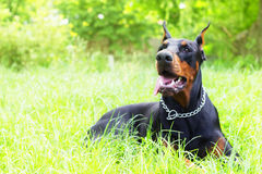 Purebred dog Doberman Royalty Free Stock Photo
