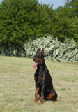 Purebred  dog doberman Stock Images