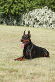 Purebred  dog doberman Royalty Free Stock Photography