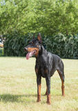 Purebred  dog doberman Stock Photo