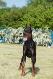 Purebred  dog doberman Royalty Free Stock Photos