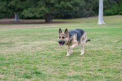 Purebred dog exercise Royalty Free Stock Images
