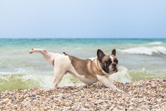 Purebred dog French Bulldog Royalty Free Stock Image