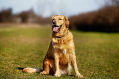 Purebred dog on grass field Royalty Free Stock Photos