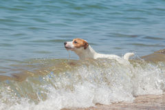 Purebred dog  Jack Russell Terrier Stock Images