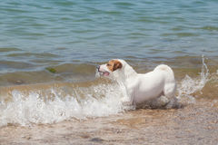 Purebred dog  Jack Russell Terrier Royalty Free Stock Images