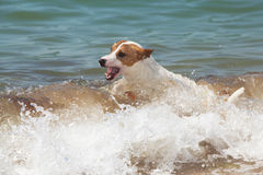Purebred dog  Jack Russell Terrier Royalty Free Stock Photo