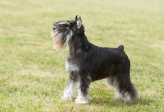 Purebred dog Miniature schnauzer royalty free stock images