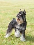 Purebred dog Miniature schnauzer stock image