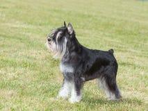 Purebred dog Miniature schnauzer stock images