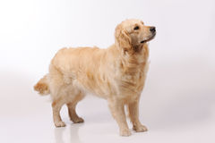 Purebred dog  over grey background Stock Images