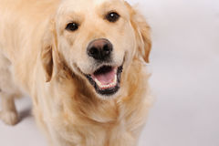 Purebred dog  over grey background Royalty Free Stock Image