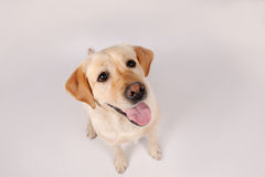 Purebred dog  over grey background Stock Image
