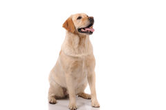Purebred dog  over white background Royalty Free Stock Photo