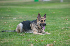 Free Purebred Dog Reclined At The Park Royalty Free Stock Images - 71141269