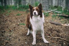 Dog in the forest. brown border collie in the forest. stock photo