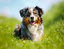 Purebred dog Royalty Free Stock Images
