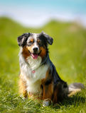 Purebred dog Stock Photo