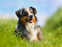 Purebred dog Royalty Free Stock Photo