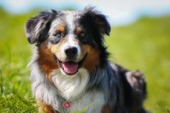 Purebred dog Royalty Free Stock Photo