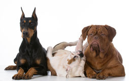 Purebred dogs Stock Photography