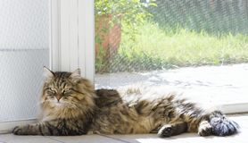 Gorgeous long haired cat lying at the window, brown tabby male of siberian breed. Purebred domestic cat of siberian breed. Brown tabby color, hypoallergenic male Royalty Free Stock Photography