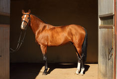 Purebred dressage horse in dark stable Stock Photography