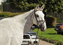 Purebred dressage horse portrait Royalty Free Stock Photography