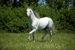 Purebred dressage horse walking in a field. Beautiful white purebred dressage horse in farm Stock Photo
