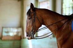 Purebred dressage koń trenował w jeździeckiej sala zdjęcia royalty free