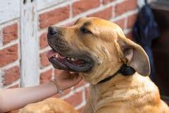 Purebred duzi brown południe - afrykańscy masywni psi gatunki Boerboel Fotografia Stock