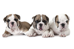 Purebred English Bulldog puppies over white Stock Photography
