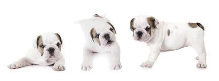 Purebred English Bulldog puppies Royalty Free Stock Photography