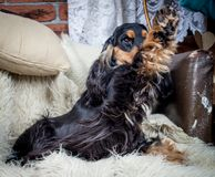 Purebred english cocker spaniel Stock Photos